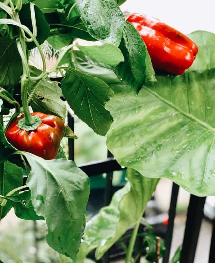 growing bell peppers in pots