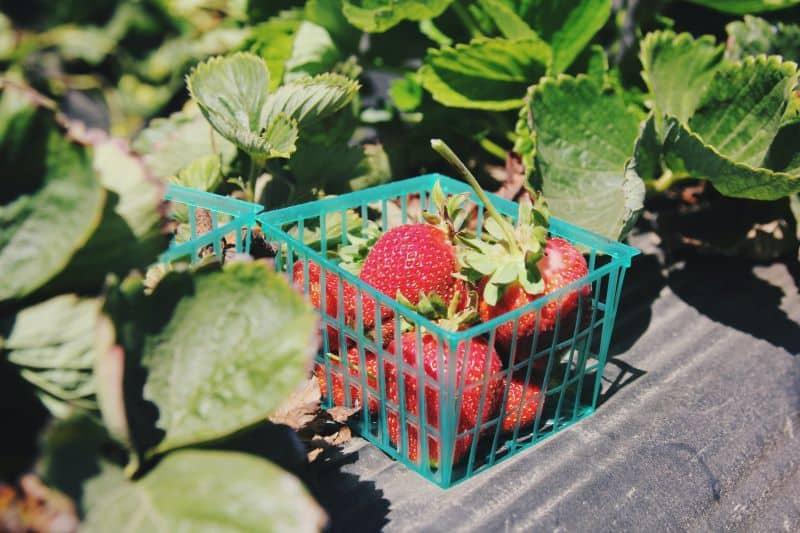 harvest strawberries