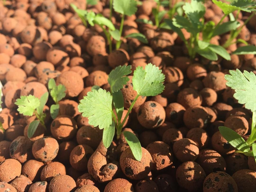 transplant seeds in clay