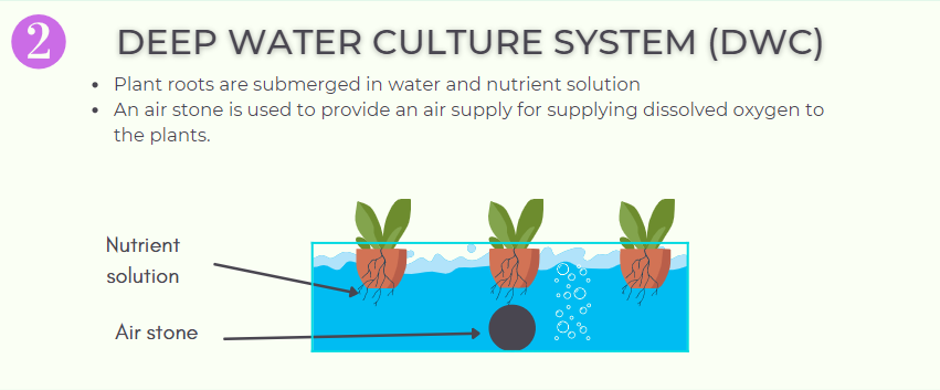 deep water culture system