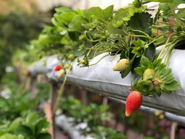 hydroponic strawberries - NFT