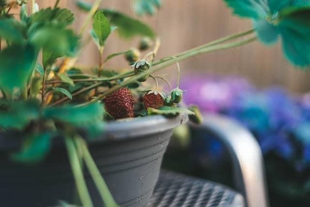 strawberry fruit rot